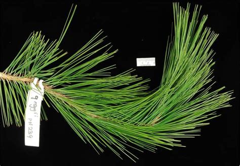 Factsheet - Pinus greggii