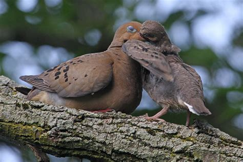 birding with binns 60 keeping an eye on mourning doves