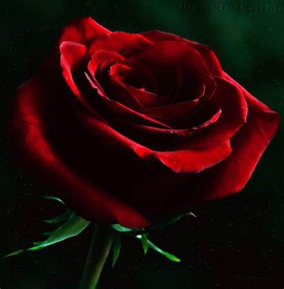 Rose Animated Rosas Animation Scraps Decent Code