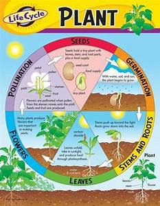 Trend Enterprises Life Cycle Of A Plant Learning Chart