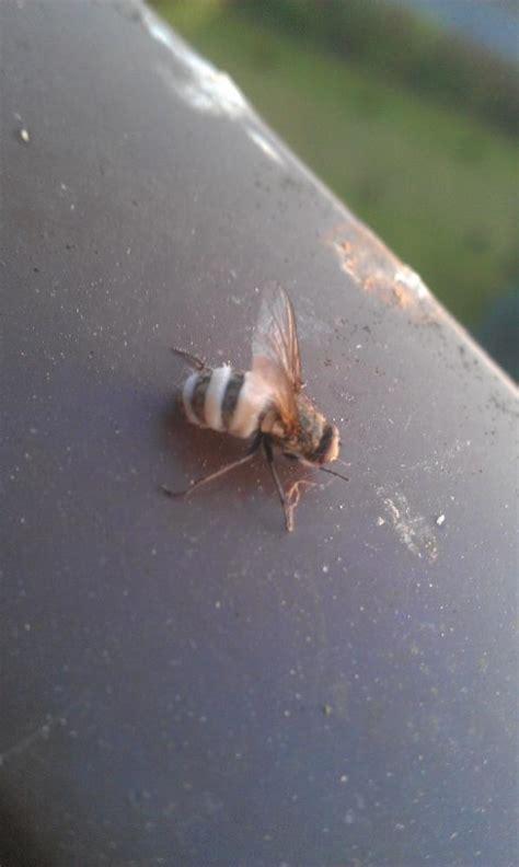 mir unbekannte fliegenart biologie insekten