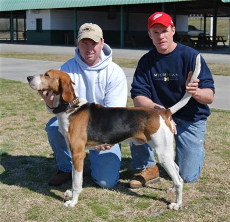 do walker coonhounds shed walking tree coonhound breeds picture