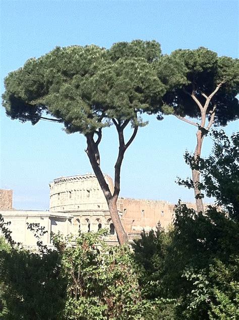italian pine tree 22 best louisiana sws images on louisiana 7609