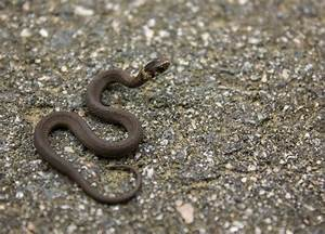 Baby Ringneck Snake by captainslack on DeviantArt