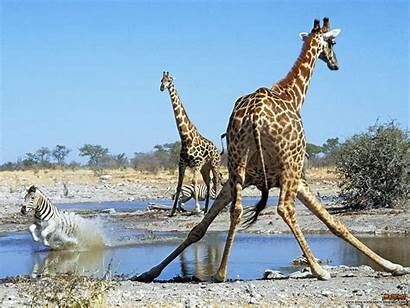 Giraffe Wallpapers Animals Namibia Giraffes Funny Animal