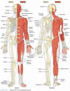 The Muscular  Skeletal System Is The Combination Of The