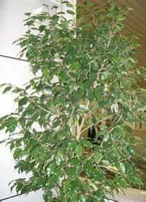 Ficus Benjamini Gelbe Blätter : gelbe bl tter bei zimmerpflanzen ~ Watch28wear.com Haus und Dekorationen