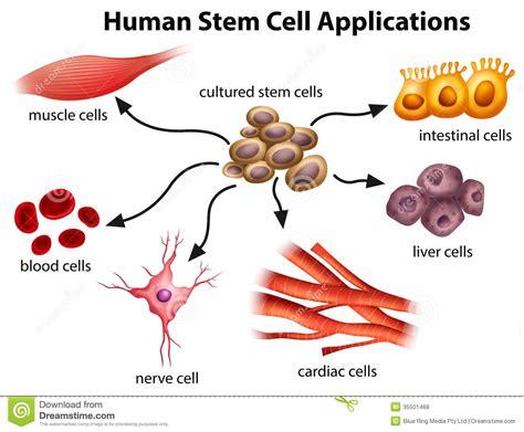 human stem cell applications stock vector illustration