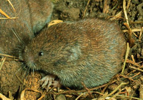 Microtus Pinetorum (woodland Vole) (pitymys Pinetorum
