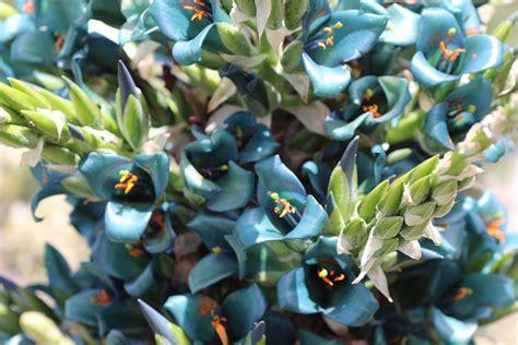 high plant stand puya chilensis