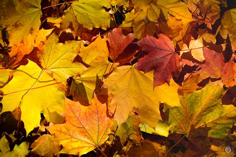 yellow orange autumn leaves background high quality