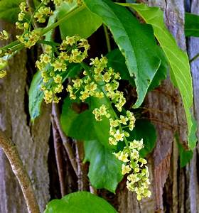Poison Ivy Flowers | New Hampshire Garden Solutions