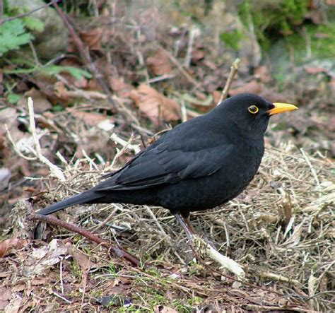 black bird with yellow ring around eye pictures to pin on
