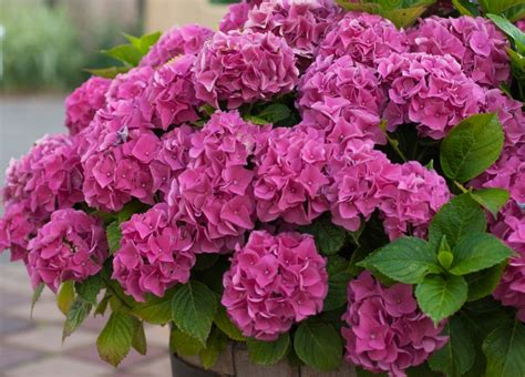 planter des hortensias en pot 28 images hydrangea hortensia in de pot royalty vrije stock