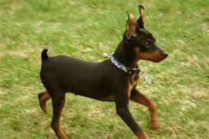 miniature pinscher history personality appearance health and pictures