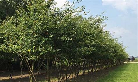 Baeume Im Garten Zierde Und Schattenspender by B 228 Ume Als Schattenspender Sumpf Eiche Dachform Baum F R
