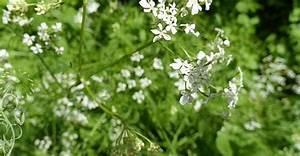 Was Hilft Gegen Giersch : giersch gierschtee gierschsalat ~ Buech-reservation.com Haus und Dekorationen