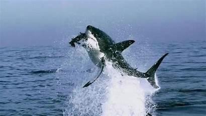 Attack Bite Sharks Animals Animal Shark Gifs
