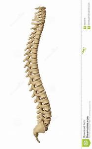Human Spine Stock Illustration  Illustration Of Medicine