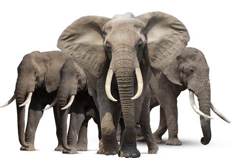 elephant png hd png mart
