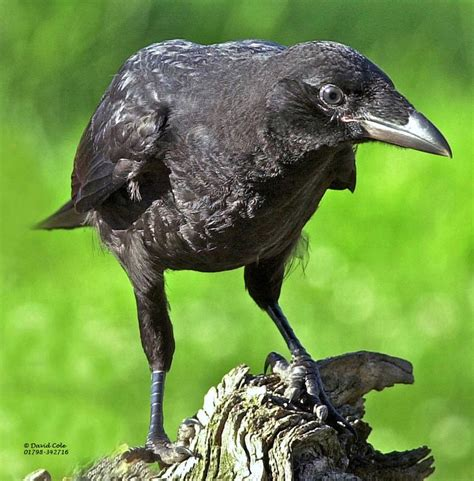 facts about crow bird