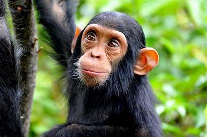 Chimpanzees Chimpanzee Pet Pets Forest