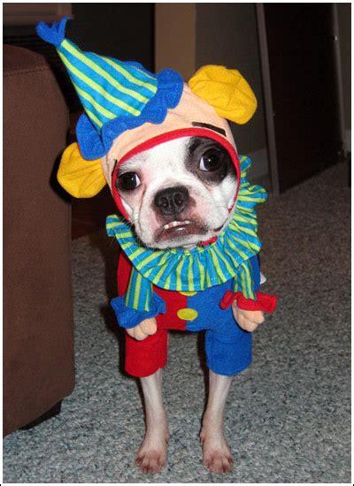 boston terrier halloween costume showcase