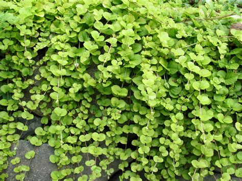 fast growing ground cover great design plant golden creeping jenny