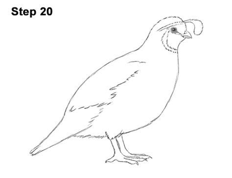 draw  quail