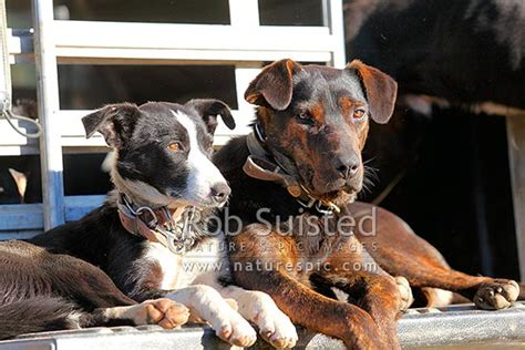 working farm stock dogs border collie heading dog