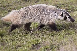 American badger - Wikipedia