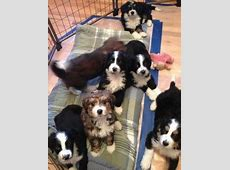 Golden Mountain Doodle Puppies for Sale Colorado