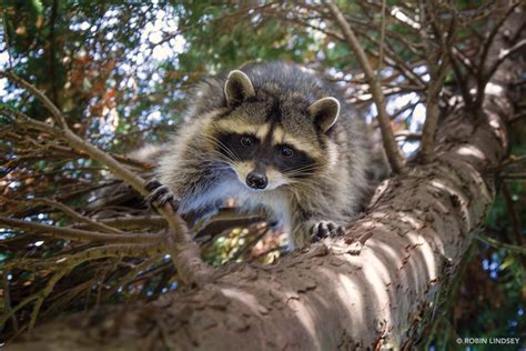 owning a raccoon the secret city life of raccoons forterra