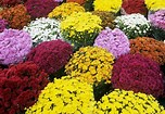 Image result for mums