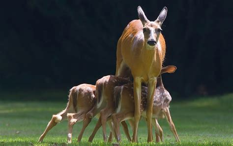 Fawns Reindeer Deer Animals Fawns Deer Doe Animals