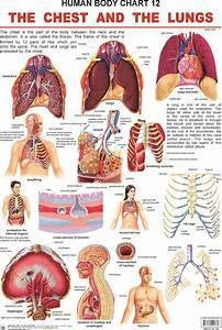 Pin By Pioneers Education On Human Body Charts