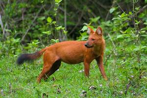 Dhole (Wild Dog) photo & image | animals, wildlife ...