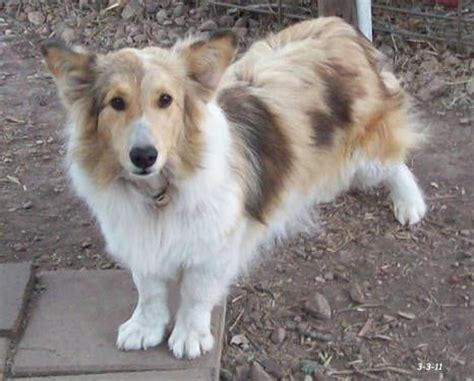 Shetland Sheepdog Shed A Lot by Sheltie Corgi Mix My Future Pups And Such