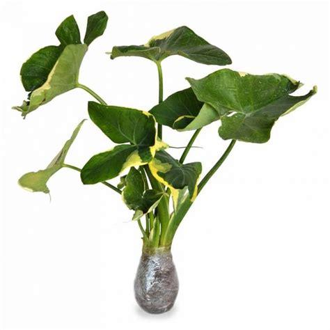 jual beli tanaman hias daun keladi putih jual