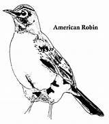 Robin Coloring American Designlooter sketch template
