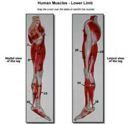 Human Anatomy Lower Leg Muscles