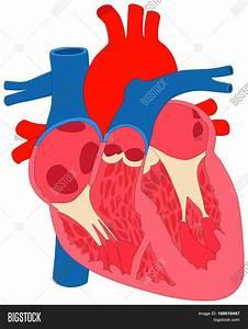 Human Heart Muscle Image  U0026 Photo  Free Trial