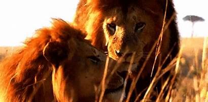 Lion Animated Gifs Lions Animals Amazing Animations