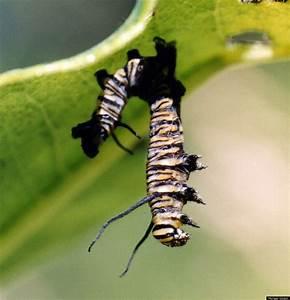 Zombie Caterpillars  Virus Liquifies Insect  Photos
