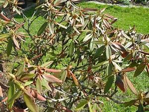 Rhododendron Braune Blätter : rhododendron mein sch ner garten forum ~ Lizthompson.info Haus und Dekorationen