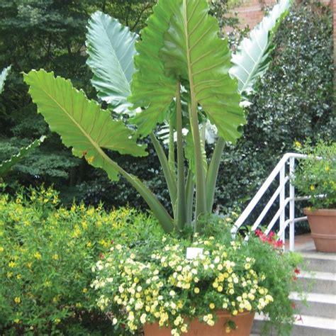 will elephant ears come back elephant ear portora alocasia hybrid alocasia browse by botanical name