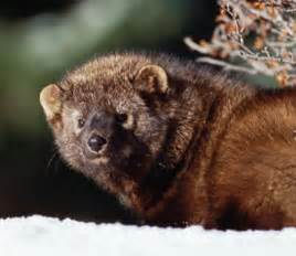 Animal Facts: Fisher | Canadian Geographic