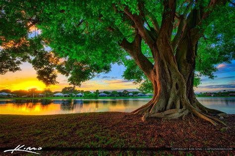 ficus tree  lake catherine  sunset  palm beach