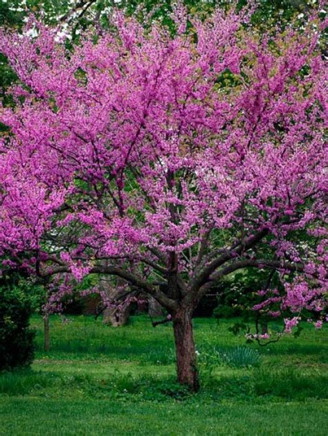 early flowering trees western redbud oklahoma redbud trees online l the tree center winter very early spring to