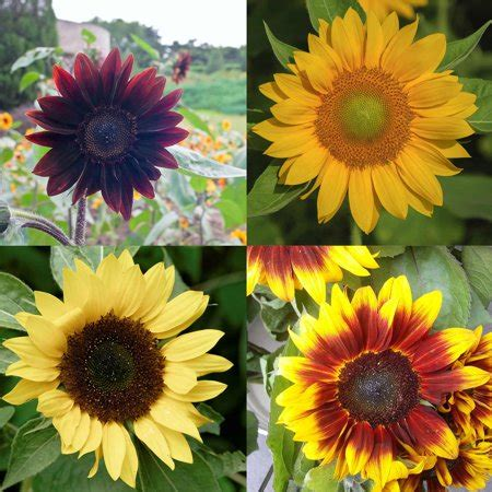 sunflower flower garden seeds pro cut series  mix